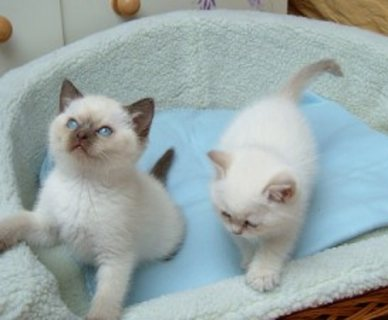 Cats For Sale in Fishers Indiana